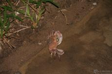 IMG 8720-Kenya, crab at night in Hotel Dolphin